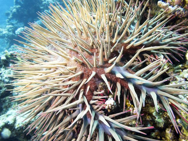 istock image of crown-of-thorns starfish