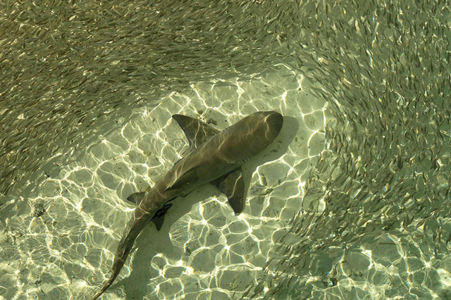 Shark feeding on Heron Island