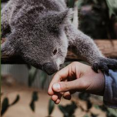 Koala sniffing persons hand