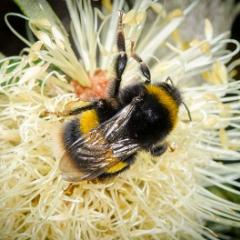 The European bumble bee (Bombus terrestris) lives in large numbers in Tasmania, but is not established on the mainland.